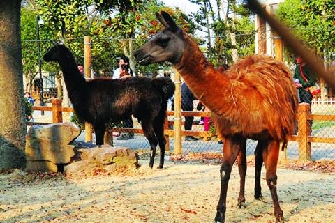 草泥马驼羊现身苏州动物园