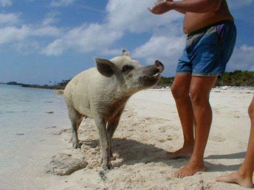 看这些小猪躺在热带沙滩上已经很奇怪了,但更罕见的是看它们冲到海里