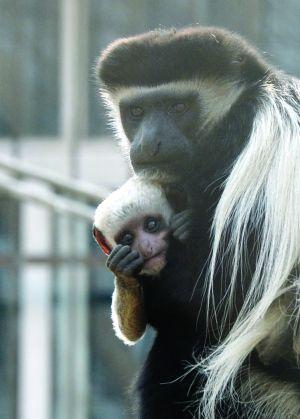 南京红山动物园黑白疣猴引进4年来首度产子