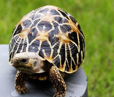 男子购国家二级保护动物印度星龟获刑一年