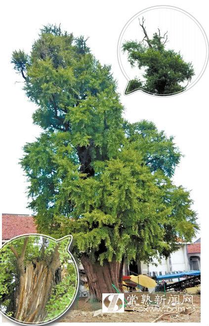 常熟市方塔公园古银杏树的照片