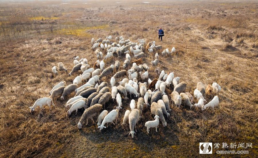 铁黄沙牧羊