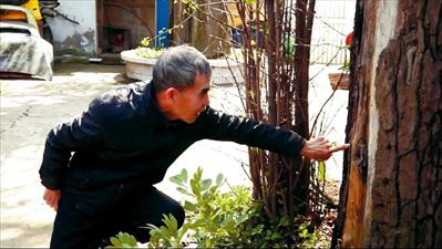 上图:绿化专家为古树治病。