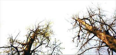 下图:两棵雌树长势令人担忧。