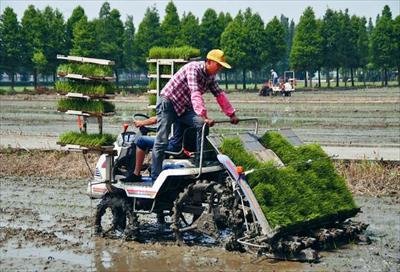 图:两台机动插秋机先行下地,拉开了支塘镇蒋巷村今年水稻夏种的大幕。