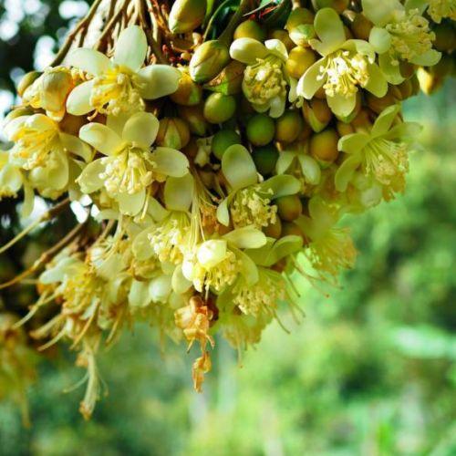 成立于1959年的宝盛园拥有40岁高龄的榴莲树,据说这种「陈年」榴莲的
