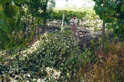 风刮树倒砸坏葡萄