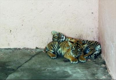 日前,在常熟出生的两只东北虎宝宝正式在虞山动物园亮相,吸引了游客前