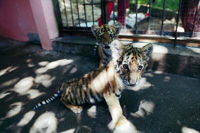 两只东北虎宝宝亮相虞山动物园