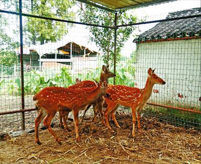 图:何云昌一手养大的梅花鹿。