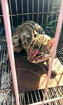 图:碧溪新区徐虎村被捕获的豹猫。