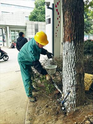绿化工人给枫泾路上的行道树涂白。