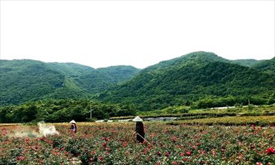 """图:龙门山脉下玫瑰基地的育苗中心,工作人员正在为""""第八届中国月季展""""作准备。"""