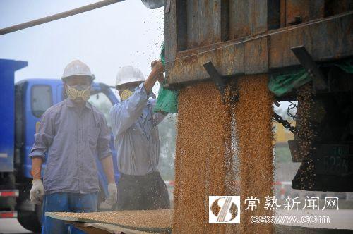 """图:农户车上的小麦正""""开闸""""卸货。"""