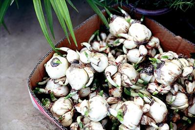 花鸟市场里,市民正在精心挑选水仙花球根。本报记者 朱琪摄